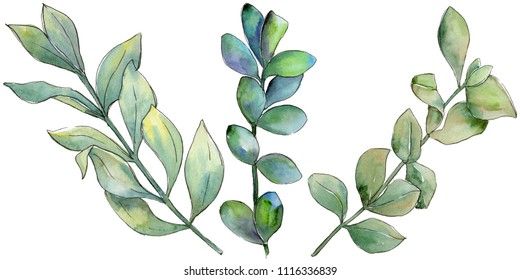 Boxwood leaves in a watercolor style isolated. Aquarelle leaf for background, texture, wrapper pattern, frame or border.