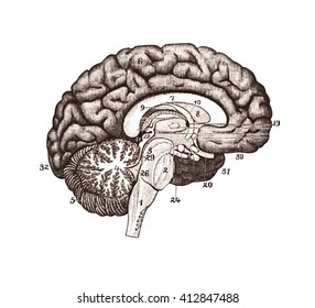 Brain Anatomy concept