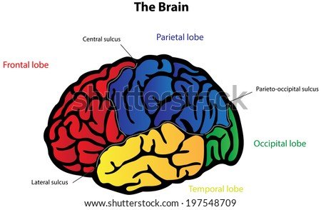 Brain Anatomy Labeled Diagram Stock Illustration 197548709
