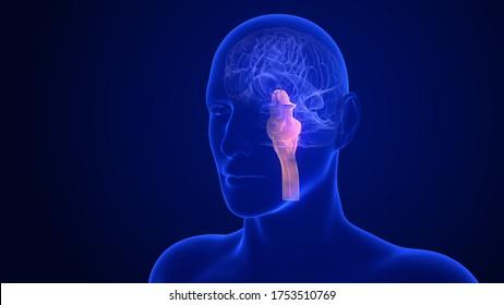 Brain Anatomy - Stem. 3d rendering brainstem