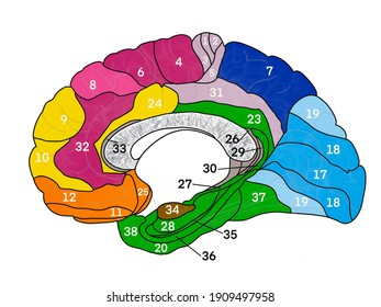 Brain Brodmann cortical area colored map of human brain with numbers