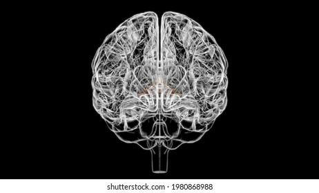 Brain Commissure fornix of forebrain Anatomy For Medical Concept 3D Illustration