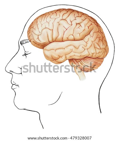 Inside Of The Brain Diagram   Normal Brain Diagram House Wiring Diagram Symbols