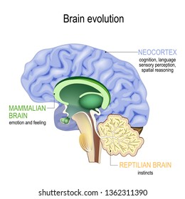 Brain evolution. Triune brain: Reptilian complex (basal ganglia for instinctual behaviours), mammalian brain (septum, amygdalae, hypothalamus, hippocamp for feeling) and Neocortex