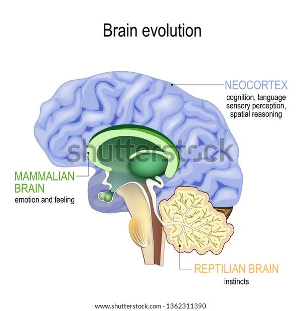 Brain Evolution Triune Brain Reptilian Complex Stock