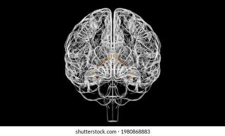 Brain fornix of forebrain Anatomy For Medical Concept 3D Illustration