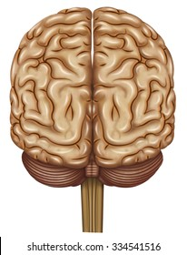 Brain illustration with rear view