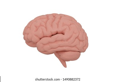 The brain isolated on white background, 3D illustration.