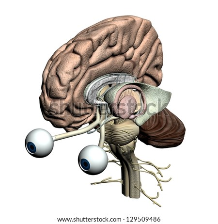 Brain Parts Isometric Front View Stock Illustration 129509486 ...
