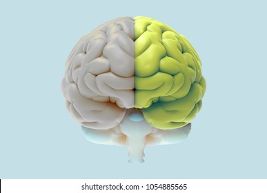 brain rendering illustration in front view with left and right function and activity concept isolated on pastel color background with clipping path for die cut to use in any backdrop