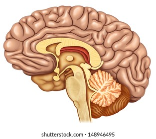 brain section with side