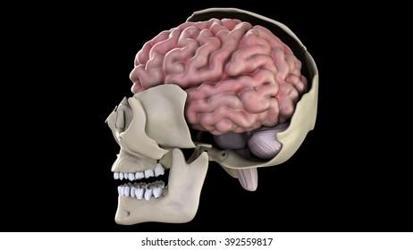 Brain, side view