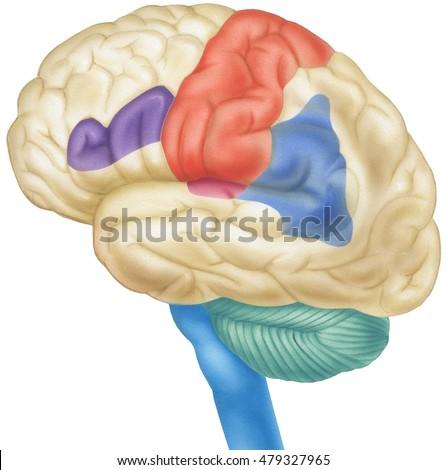 brain side view shown parietal lobesのイラスト素材 479327965