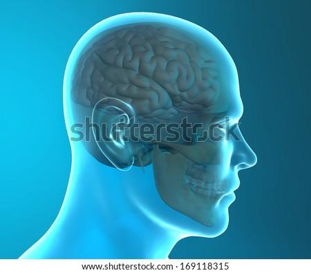 Brain Skull Xray Head Anatomy Stock Illustration 169118315 ...