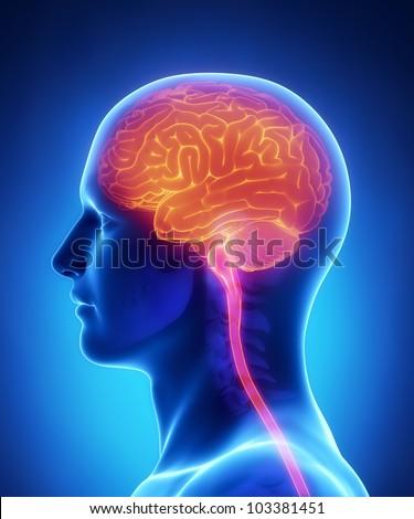 Brain Spinal Cord Anatomy Cross Section Stock Illustration 103381451