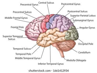 Brain structure with lobes descriptions /  colored brain