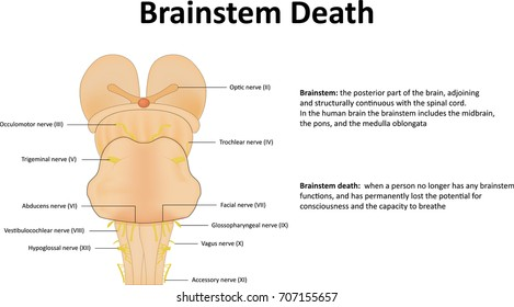 Brainstem Images, Stock Photos & Vectors | Shutterstock
