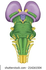 brainstem, ventral view, posterior part of the brain, adjoining and structurally continuous with the spinal cord, parts of the diencephalon, motor and sensory innervation via thecranial nerves
