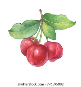 Branch of Acerola thai cherry with berries.  Watercolor hand drawn painting illustration isolated on white background.