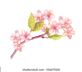 Branch of apple, cherry spring blossom. Watercolor twig with flowers
