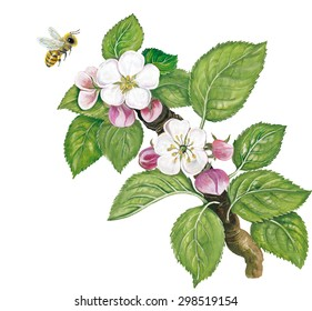 a branch of an apple tree (Malus domestica) with flowers and a bee