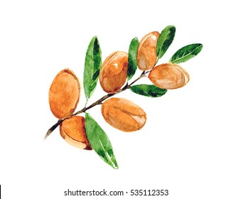 Branch of argan. Watercolor. Isolated.
