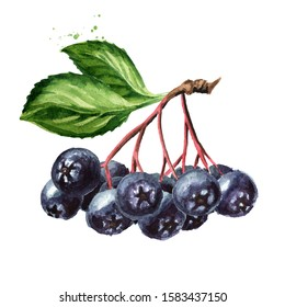 Branch of Aronia berries or black chokeberry with green leaves set. Watercolor hand drawn illustration isolated on white background