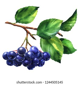 Branch of black chokeberry, aronia melanocarpa, fresh aronia berries with leaves, isolated, hand drawn watercolor illustration on white background