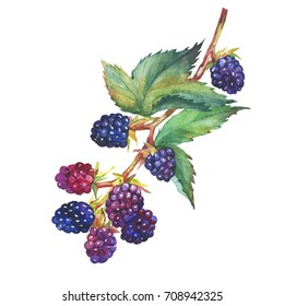 A branch with blackberry fruit and leaves (Rubus genus) realistic botanical illustration. Watercolor hand drawn painting illustration, isolated on white background.