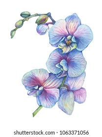 The branch of blossoming tropical blue flower orchid (Phalaenopsis Dendrobium). Floral art close up hybrid orchid. Hand drawn watercolor painting illustration isolated on a white background.