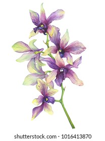 The branch of blossoming tropical purple flower orchid (Phalaenopsis Dendrobium). Hand drawn watercolor painting illustration on white background.