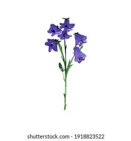 Branch of campanula.Balloon flower,olatycodon,bluebells,chinese bellflower.Set of three flowers campanula flowers.Hand painted illustration.Botanic,floral illustration.