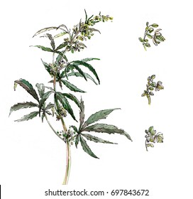 A branch of cannabis. Marijuana. Isolated on white. Watercolor illustration