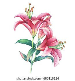 A branch close-up of a pink Lilies flower. Watercolor hand drawn painting illustration, isolated on white background.