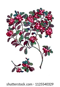 Branch of cowberry. Wild berry. Medicinal Herbs