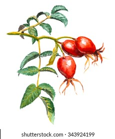 A branch of Dog rose (Briar) with three red berries and green leaves. Watercolor painting, isolated on white background.