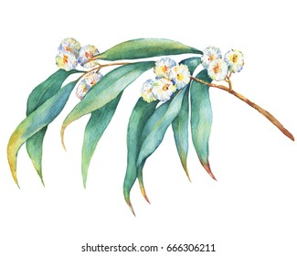 A branch of  Eucalyptus melliodora  flowers, plant also known as Yellow Box Gum. Watercolor hand drawn painting illustration, isolated on white background.