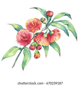 A branch of Eucalyptus sideroxylon (or mugga, red ironbark or mugga ironbark) flowers, plant also known as Yellow Box Gum. Watercolor hand drawn painting illustration, isolated on white background.