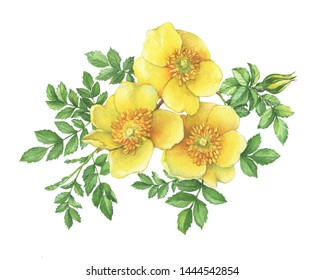Branch flower yellow Rosa hugonis with leaves (known as Golden Rose of China, Hugonis, Austrian briar). Watercolor hand drawn painting illustration, isolated on white background.