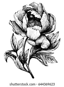 The branch flowering peony isolated on white background.  Hand drawn graphic  illustration.