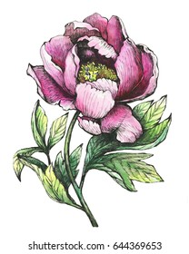The branch flowering pink peony, isolated on white background.  Hand drawn graphic and watercolor painting illustration.