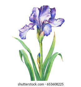 The branch flowering violet Iris. Watercolor hand drawn painting illustration, isolated on white background.