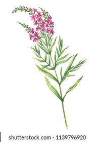 Branch with flowers of plant Chamaenerion angustifolium (fireweed, Russian Tea, Ivan Chai or rosebay willowherb). Watercolor hand drawn painting illustration isolated on a white background.