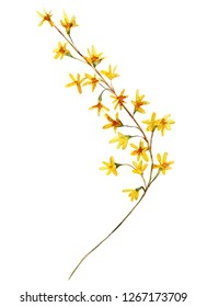 Branch of forsythia hand drawn watercolor floral illustration.  Element for design of greeting cards, invitations for weddings, holidays,  valentines day. Isolated object.