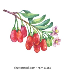 Branch of goji plant with red berries, flowers and leaves (Lycium barbarum). Watercolor hand drawn painting illustration isolated on white background.