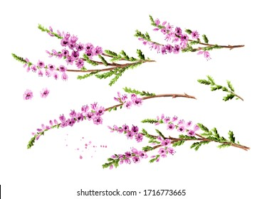 Branch of heather with purple flowers set, symbol of good luck. Watercolor hand drawn illustration, isolated on white background