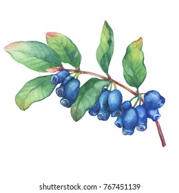 Branch of honeysuckle plant (Lonicera caerulea) with blue berries and leaves. Watercolor hand drawn painting illustration isolated on white background.
