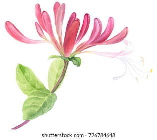 Branch honeysuckle. Watercolor. Wallpaper. Flowers and leaves.  Floral motifs. Use printed materials, signs, items, websites, maps, posters, postcards, packaging.
