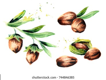 Branch jojoba with brown nuts set. Watercolor hand drawn illustration