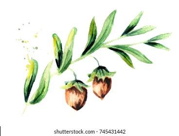 Branch jojoba. Watercolor hand drawn illustration
